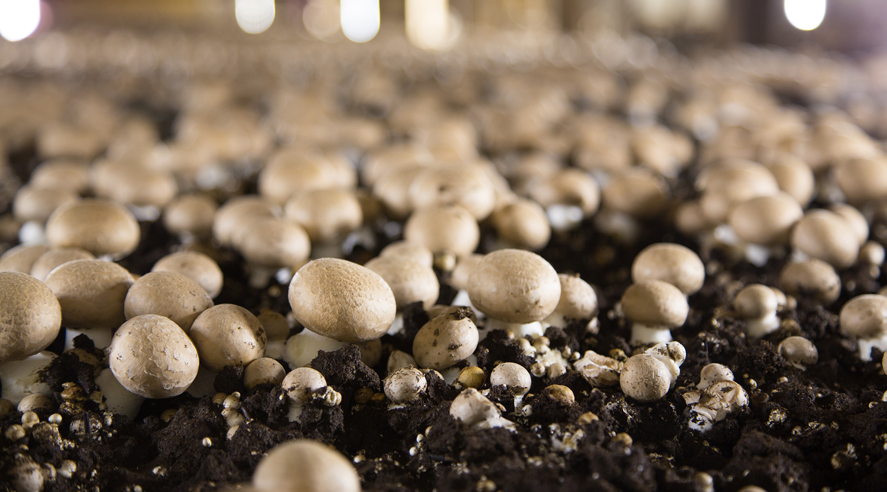 Mushrooms growing in dirt