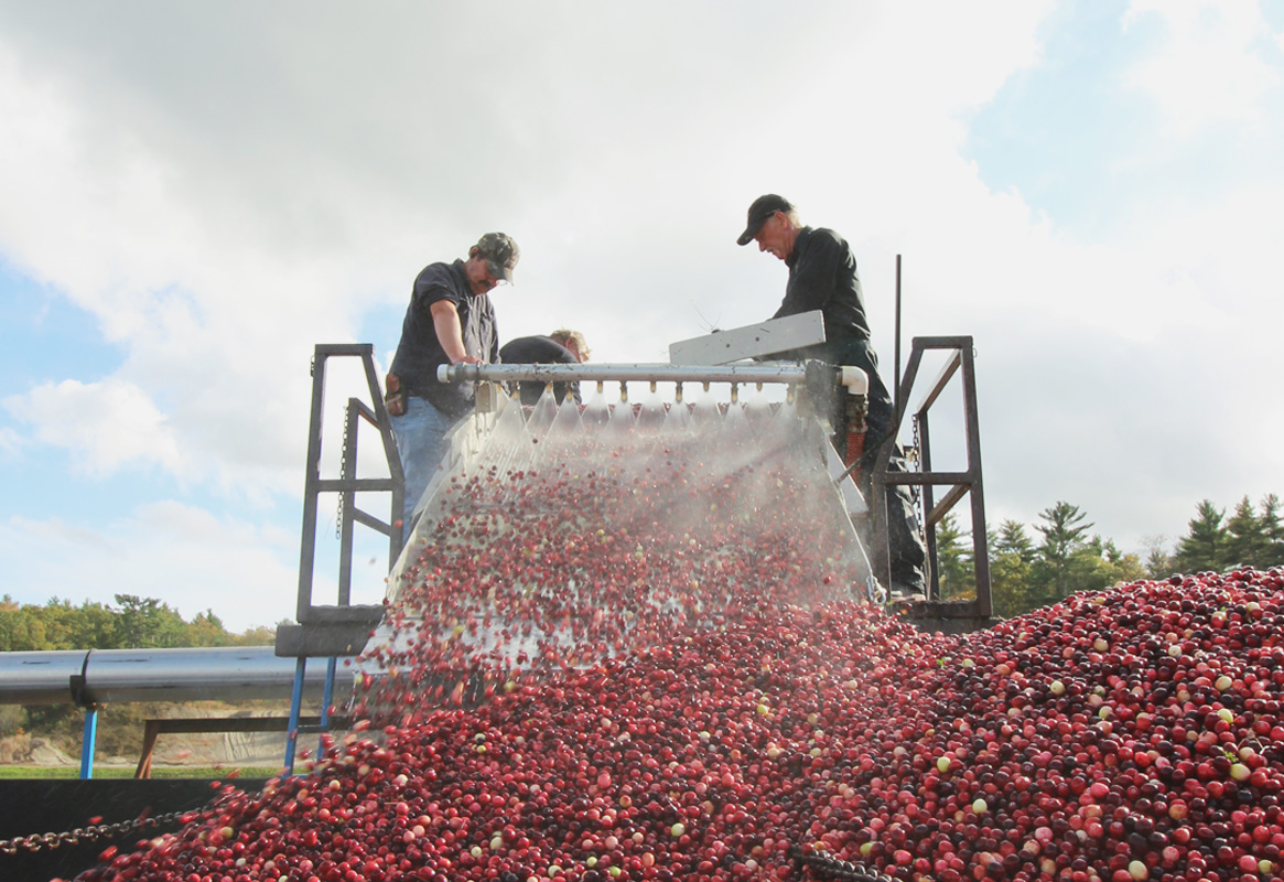 cranberry bog farmers on a machine separating cranberries